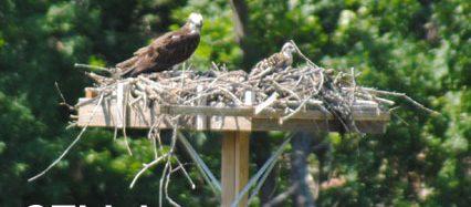 CT Birding Trails Birdwatching Hawk and Chick